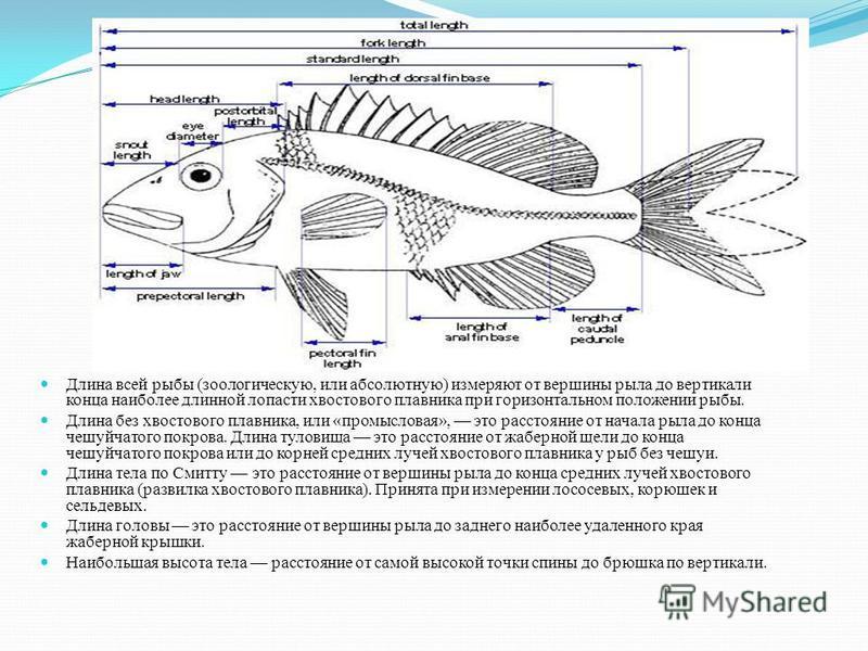 Длина всей рыбы (зоологическую, или абсолютную) измеряют от вершины рыла до вертикали конца наиболее длинной лопасти хвостового плавника при горизонтальном положении рыбы. Длина без хвостового плавника, или «промысловая», это расстояние от начала рыл