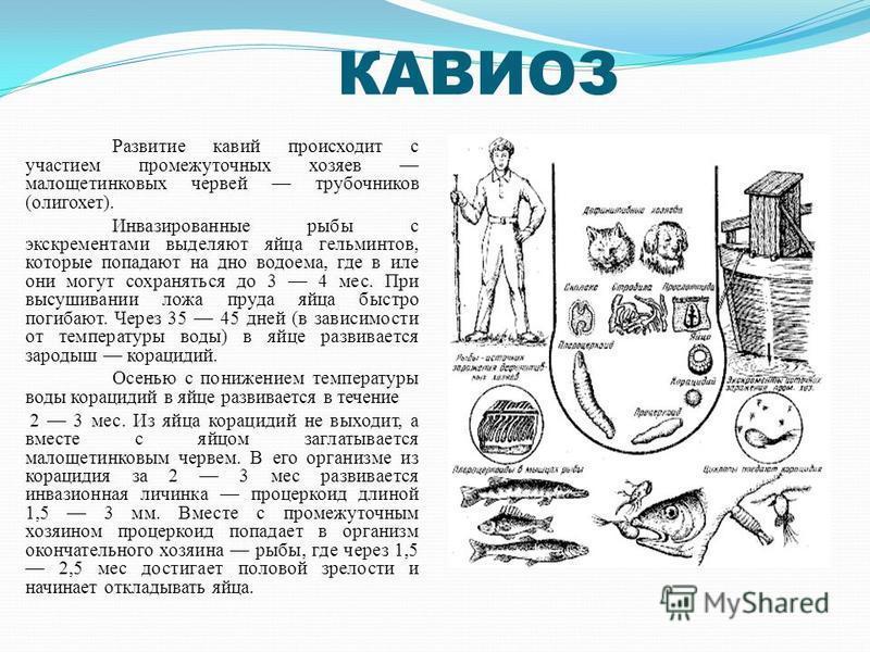 КАВИОЗ Развитие кавий происходит с участием промежуточных хозяев малощетинковых червей трубочников (олигохет). Инвазированные рыбы с экскрементами выделяют яйца гельминтов, которые попадают на дно водоема, где в иле они могут сохраняться до 3 4 мес.