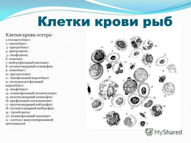 Клетки крови осетра: 1-гемоцитобласт; 2- миелобласт; 3- эритробласт; 4- эритроциты; 5- лимфоциты; 6- моноцит; 7- нейтрофильный миелоцит; 8- сегментоядерный эозинофил; 9- мон область; 10- промиелоцит; 11 - базофильный нормобласт; 12- полихроматофильны