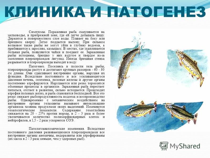 КЛИНИКА И ПАТОГЕНЕЗ Симптомы. Пораженная рыба скапливается на мелководье, в прибрежной зоне, где ей легче добывать пищу. Держится в поверхностном слое воды. Плавает на боку или брюшком кверху. Легко поддается вылову. При сильном волновое такие рыбы н