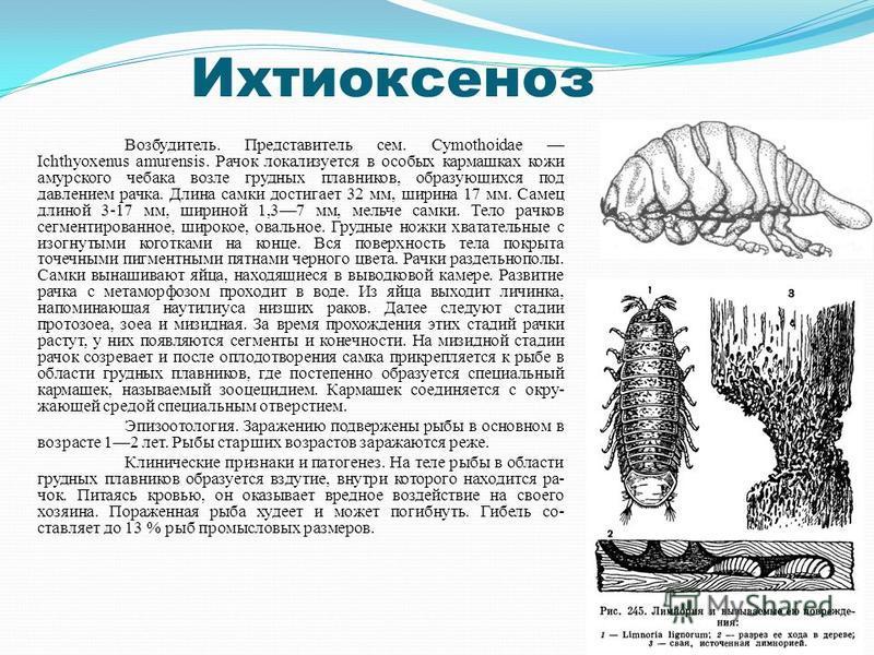 Ихтиоксеноз Возбудитель. Представитель сем. Cymothoidae Ichthyoxenus amurensis. Рачок локализуется в особых кармашках кожи амурского чебака возле грудных плавников, образующихся под давлением рачка. Длина самки достигает 32 мм, ширина 17 мм. Самец д
