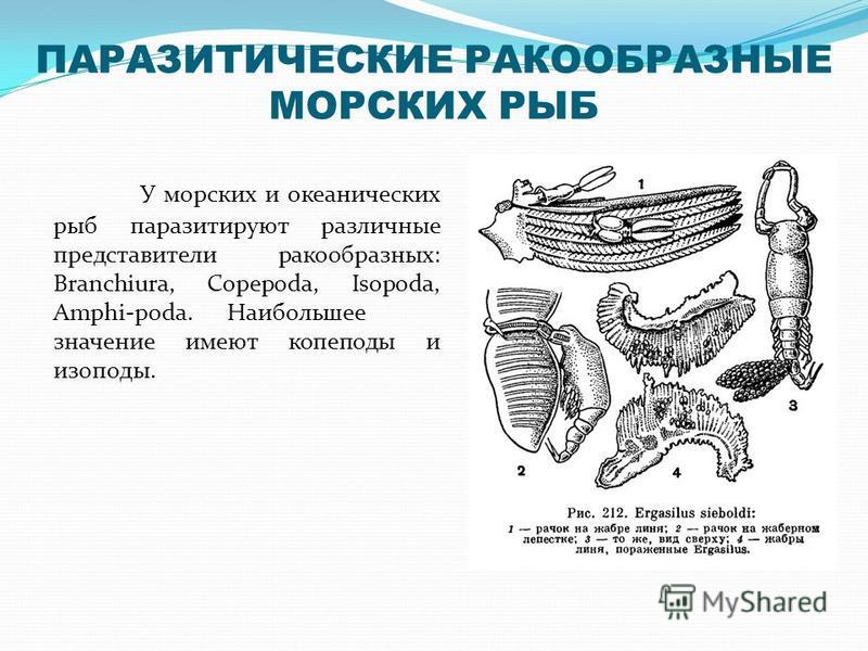 ПАРАЗИТИЧЕСКИЕ РАКООБРАЗНЫЕ МОРСКИХ РЫБ У морских и океанических рыб паразитируют различные представители ракообразных: Branchiura, Copepoda, Isopoda, Amphi-poda. Наибольшее значение имеют копеподы и изоподы.