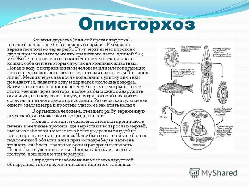 Описторхоз Кошачья двуустка (или сибирская двуустка) - плоский червь - еще более опасный паразит. Им можно заразиться только через рыбу. Этот червь имеет плоское с двумя присосками тело желто-оранжевого цвета, длиной 8-13 мм. Живет он в печени или ки