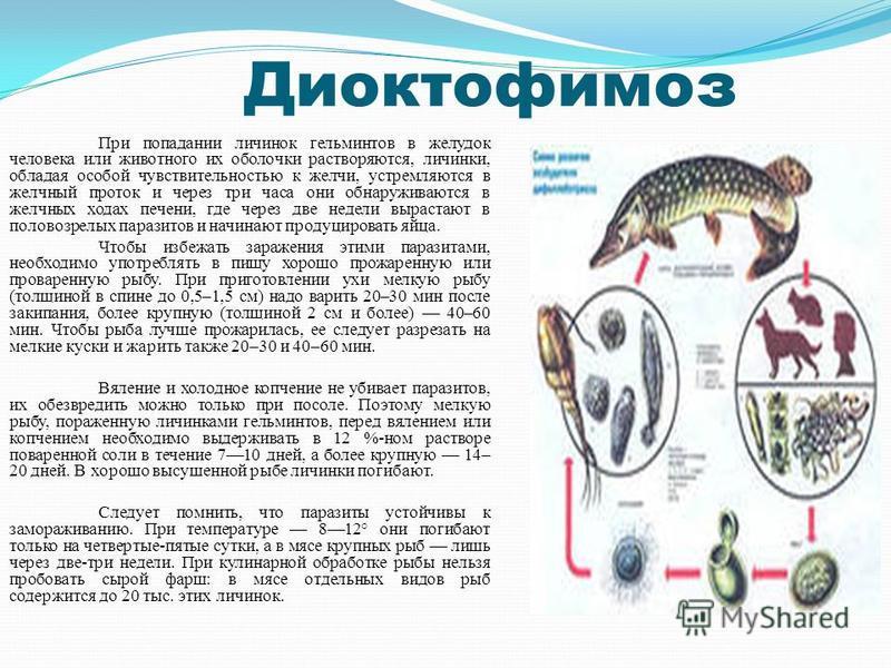 Диоктофимоз При попадании личинок гельминтов в желудок человека или животного их оболочки растворяются, личинки, обладая особой чувствительностью к желчи, устремляются в желчный проток и через три часа они обнаруживаются в желчных ходах печени, где ч