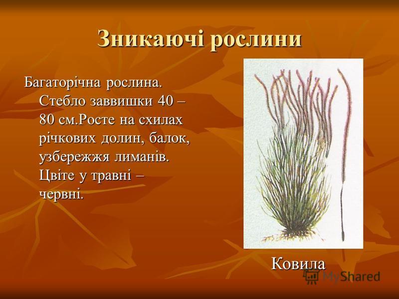 Зникаючі рослини Багаторічна рослина. Стебло заввишки 40 – 80 см.Росте на схилах річкових долин, балок, узбережжя лиманів. Цвіте у травні – червні. Ковила Ковила