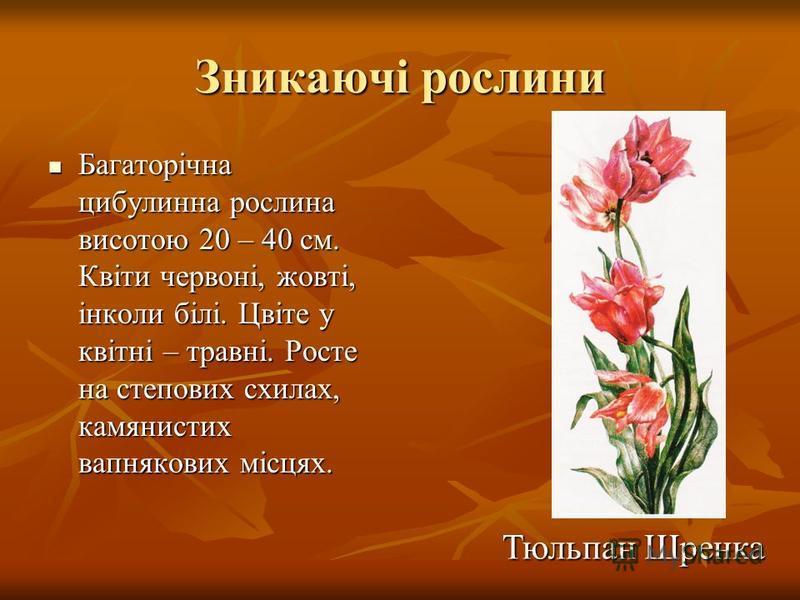 Зникаючі рослини Багаторічна цибулинна рослина висотою 20 – 40 см. Квіти червоні, жовті, інколи білі. Цвіте у квітні – травні. Росте на степових схилах, камянистих вапнякових місцях. Багаторічна цибулинна рослина висотою 20 – 40 см. Квіти червоні, жо