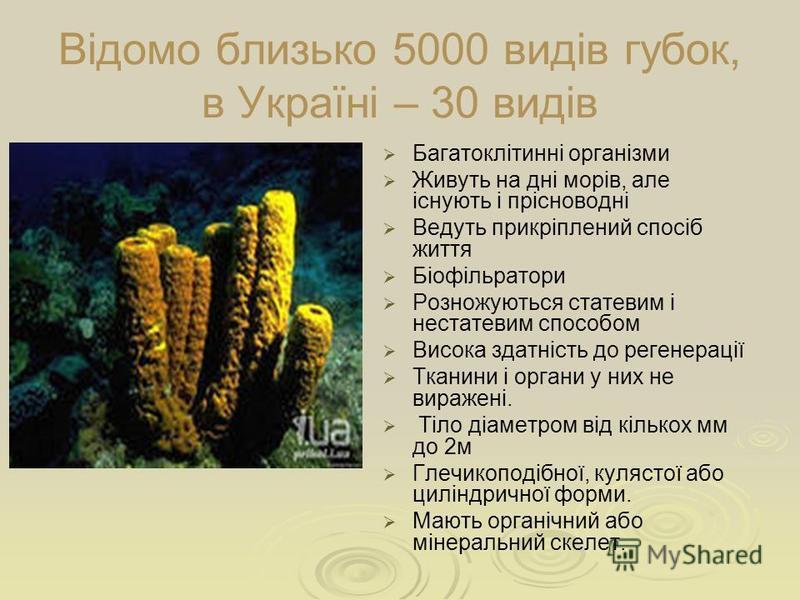 Відомо близько 5000 видів губок, в Україні – 30 видів Багатоклітинні організми Живуть на дні морів, але існують і прісноводні Ведуть прикріплений спосіб життя Біофільратори Розножуються статевим і нестатевим способом Висока здатність до регенерації Т