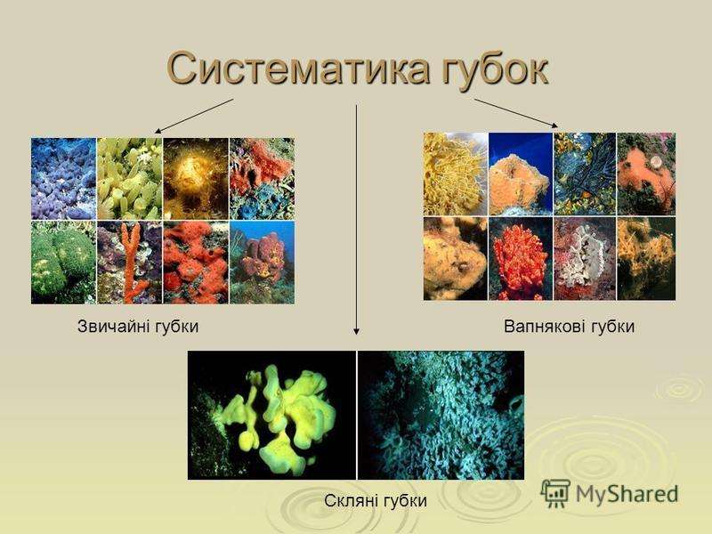 Систематика губок Вапнякові губки Скляні губки Звичайні губки