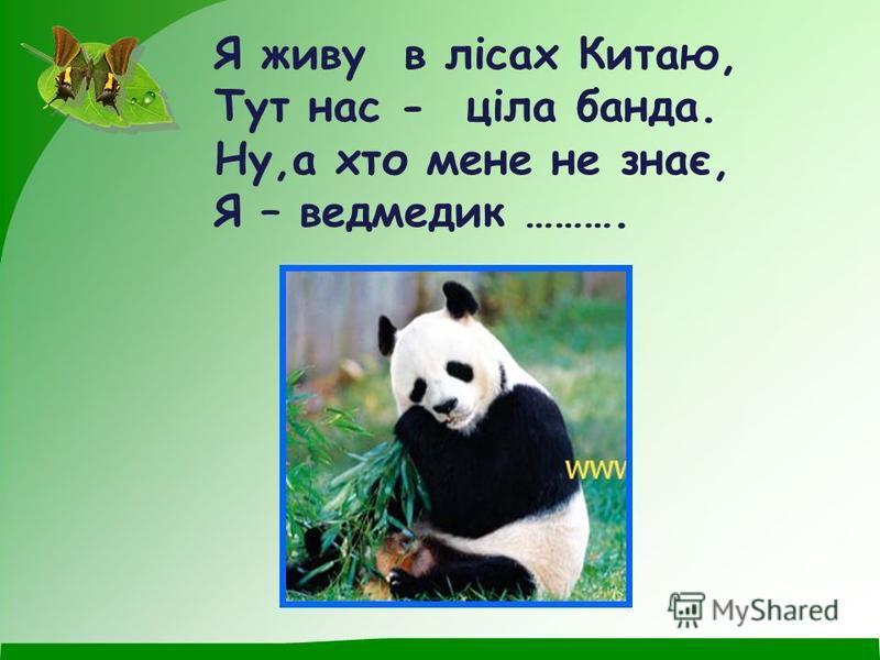 Я живу в лісах Китаю, Тут нас - ціла банда. Ну,а хто мене не знає, Я – ведмедик ……….