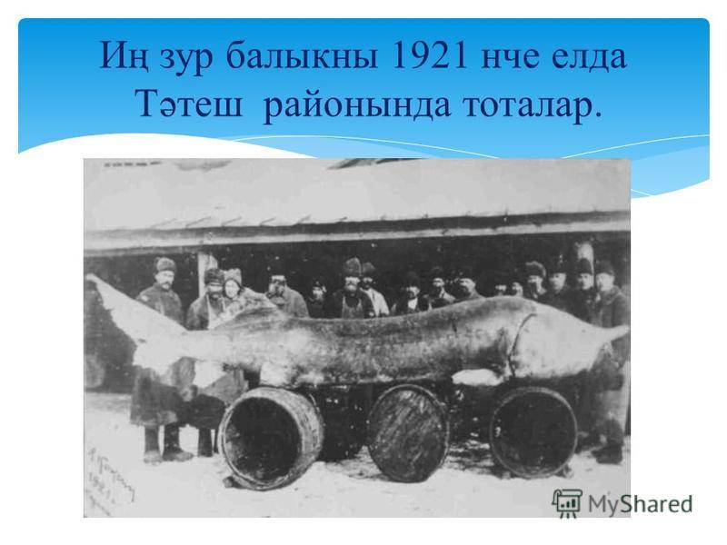 Иң зур балыкны 1921 нче елда Тәтеш районында тоталар.