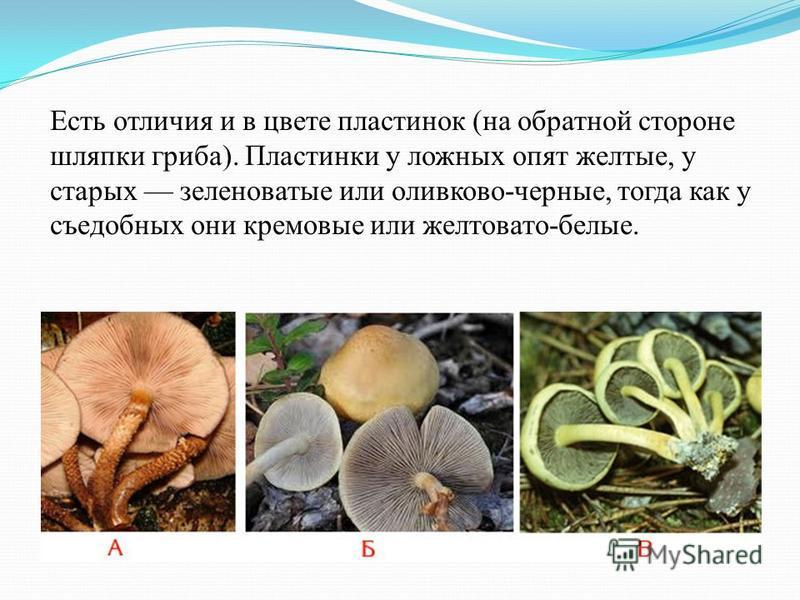 Есть отличия и в цвете пластинок (на обратной стороне шляпки гриба). Пластинки у ложных опят желтые, у старых зеленоватые или оливково-черные, тогда как у съедобных они кремовые или желтовато-белые.
