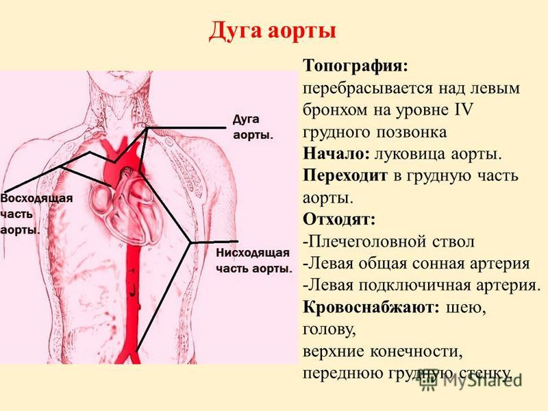 Топография: перебрасывается над левым бронхом на уровне IV грудного позвонка Начало: луковица аорты. Переходит в грудную часть аорты. Отходят: -Плечеголовной ствол -Левая общая сонная артерия -Левая подключичная артерия. Кровоснабжают: шею, голову, в