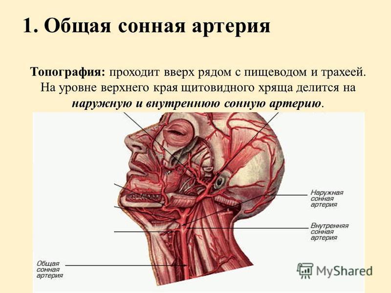 1. Общая сонная артерия Топография: проходит вверх рядом с пищеводом и трахеей. На уровне верхнего края щитовидного хряща делится на наружную и внутреннюю сонную артерию.