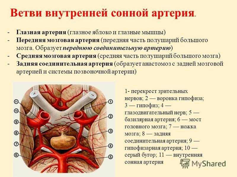 Ветви внутренней сонной артерия. -Глазная артерия (глазное яблоко и глазные мышцы) -Передняя мозговая артерия (передняя часть полушарий большого мозга. Образует переднюю соединительную артерию) -Средняя мозговая артерия (средняя часть полушарий больш
