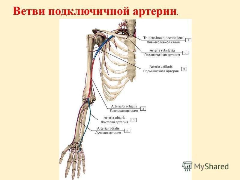 Ветви подключичной артерии.