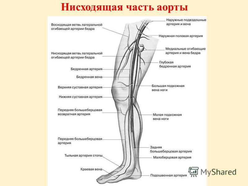 Нисходящая часть аорты