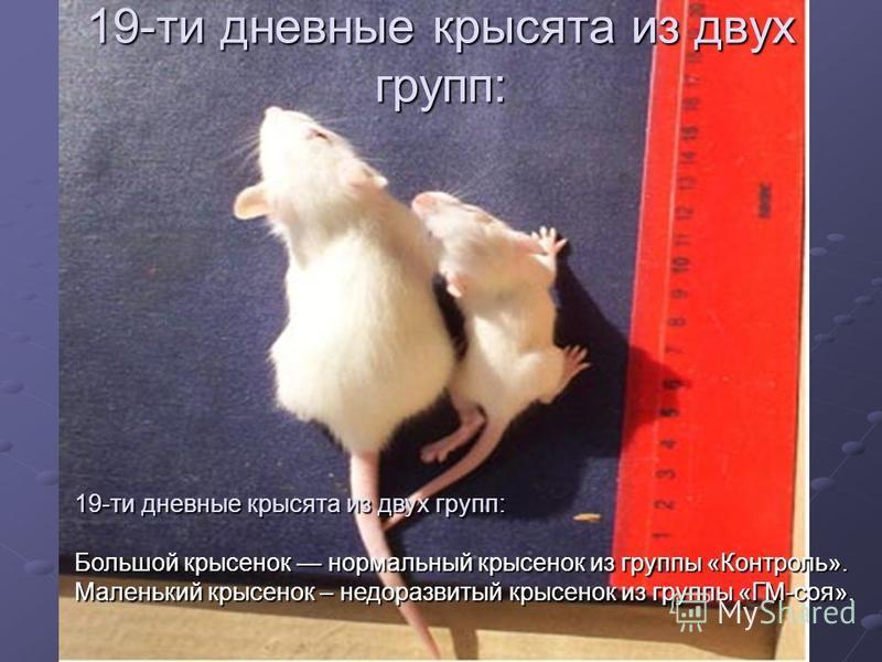 19-ти дневные крысята из двух групп: Большой крысенок нормальный крысенок из группы «Контроль». Маленький крысенок – недоразвитый крысенок из группы «ГМ-соя». 19-ти дневные крысята из двух групп: