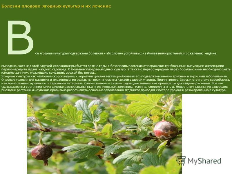 Болезни плодово-ягодных культур и их лечение В се ягодные культуры подвержены болезням – абсолютно устойчивых к заболеваниям растений, к сожалению, ещё не выведено, хотя над этой задачей селекционеры бьются долгие годы. Обезопасить растения от пораже