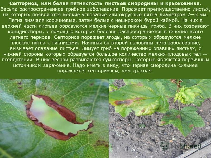 Септориоз, или белая пятнистость листьев смородины и крыжовника. Весьма распространенное грибное заболевание. Поражает преимущественно листья, на которых появляются мелкие угловатые или округлые пятна диаметром 23 мм. Пятна вначале коричневые, затем