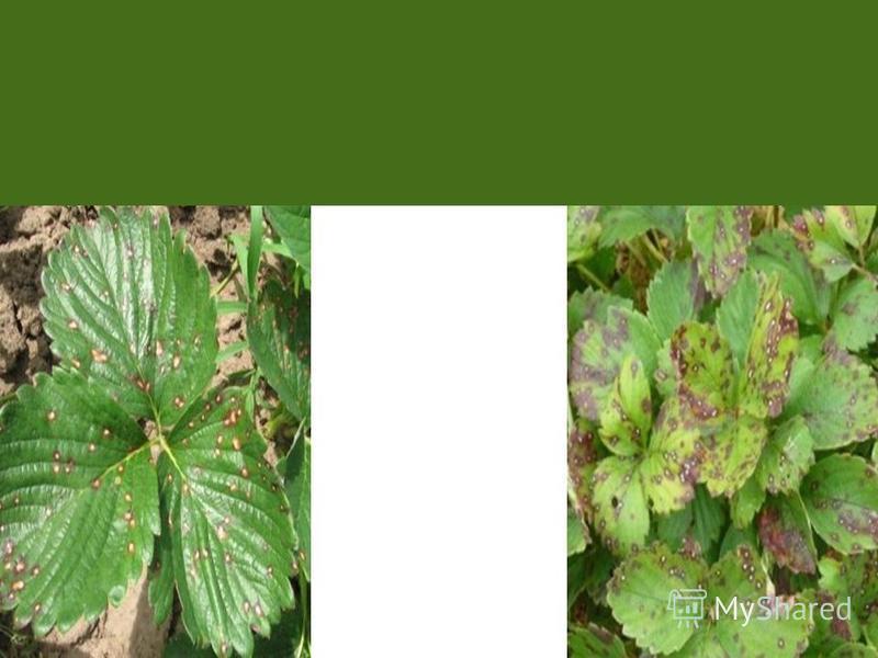 Рамуляриоз, или белая пятнистость, поражает до 50% листовой пластинки. На листьях проявляются мелкие округлые пятна, в центре светло- серые, с четким пурпурным ободком, центр пятна выпадает, лист выглядит дырчатым. Во влажную погоду развивается светл