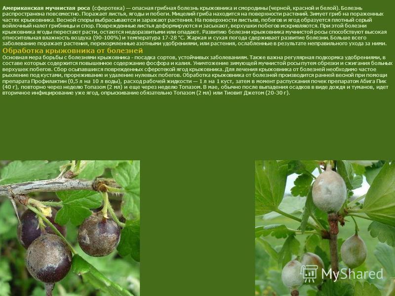 Американская мучнистая роса (сферотека) опасная грибная болезнь крыжовника и смородины (черной, красной и белой). Болезнь распространена повсеместно. Поражает листья, ягоды и побеги. Мицелий гриба находится на поверхности растений. Зимует гриб на пор