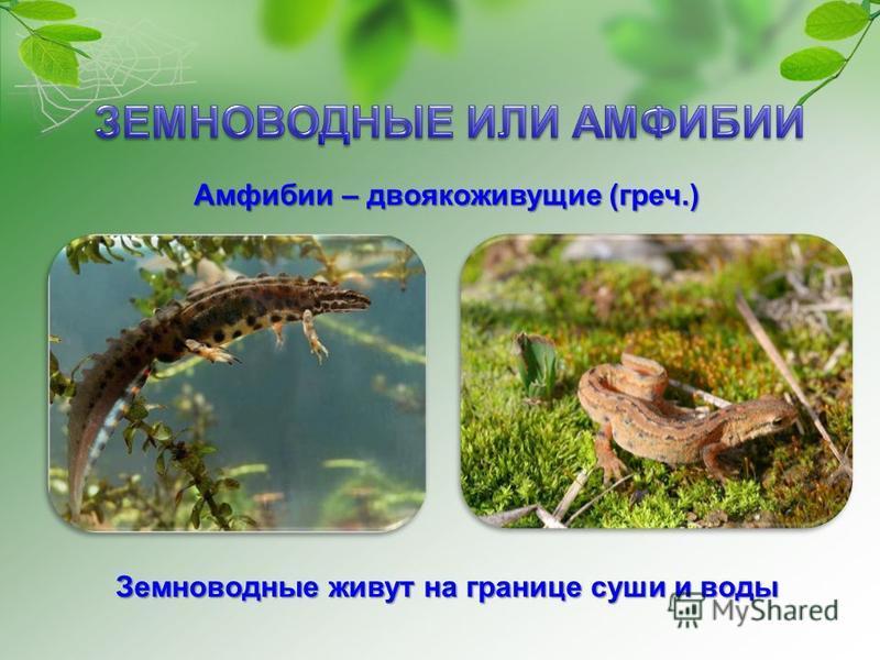 Амфибии – двоякоживущие (греч.) Земноводные живут на границе суши и воды