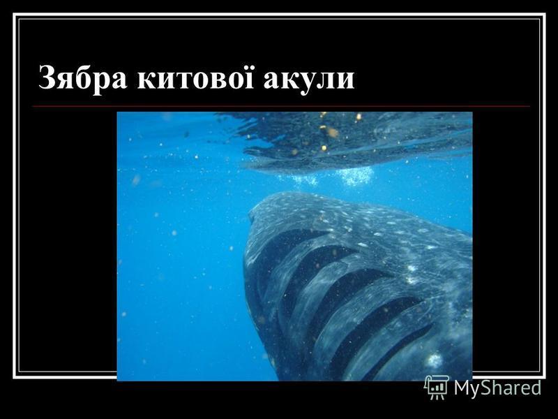 Зябра китової акули