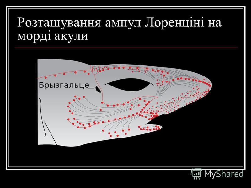 Розташування ампул Лоренціні на морді акули