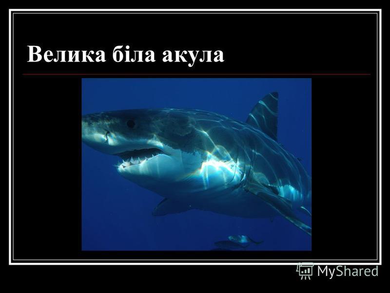 Велика біла акула