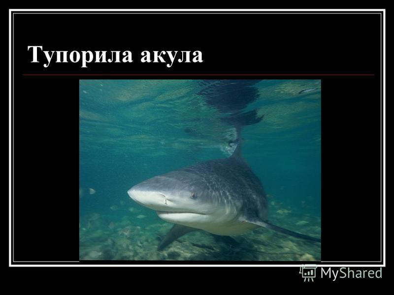 Тупорила акула