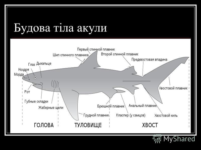 Будова тіла акули
