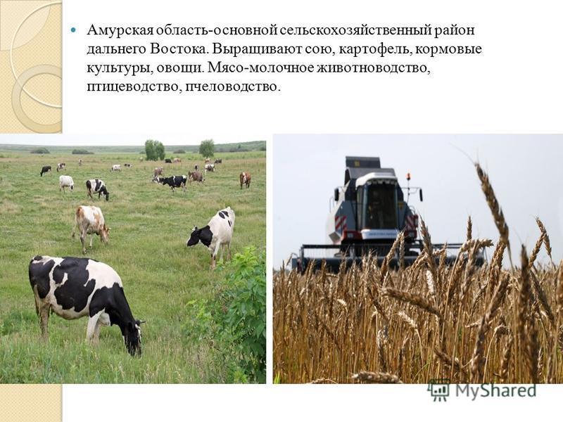 Амурская область-основной сельскохозяйственный район дальнего Востока. Выращивают сою, картофель, кормовые культуры, овощи. Мясо-молочное животноводство, птицеводство, пчеловодство.