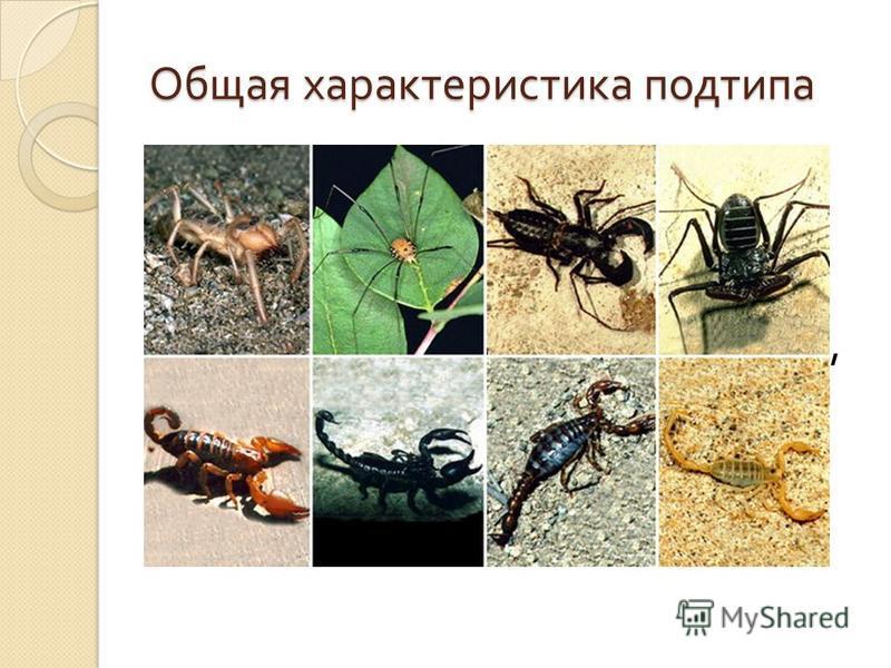 Общая характеристика подтипа Паукообразные - класс членистоногих подтипа хелицеровых. Длина 0,1 мм - 17 см. Отряды : скорпионы, сенокосцы, пауки, сольпуги и 3 отряда клещей. Насчитывается около 60 тысяч видов. Распространены широко