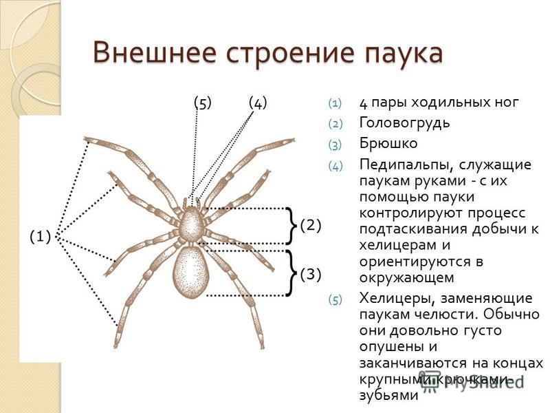 Внешнее строение паука (5) (4) (1) 4 пары ходильных ног (2) Головогрудь (3) Брюшко (4) Педипальпы, служащие паукам руками - с их помощью пауки контролируют процесс подтаскивания добычи к хелицерам и ориентируются в окружающем (5) Хелицеры, заменяющие