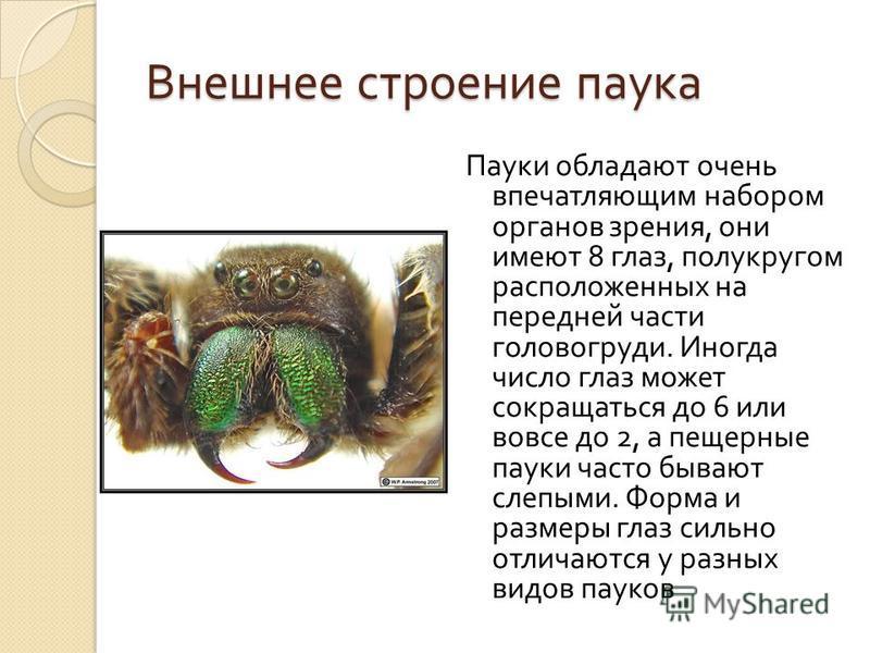 Внешнее строение паука Пауки обладают очень впечатляющим набором органов зрения, они имеют 8 глаз, полукругом расположенных на передней части головогруди. Иногда число глаз может сокращаться до 6 или вовсе до 2, а пещерные пауки часто бывают слепыми.