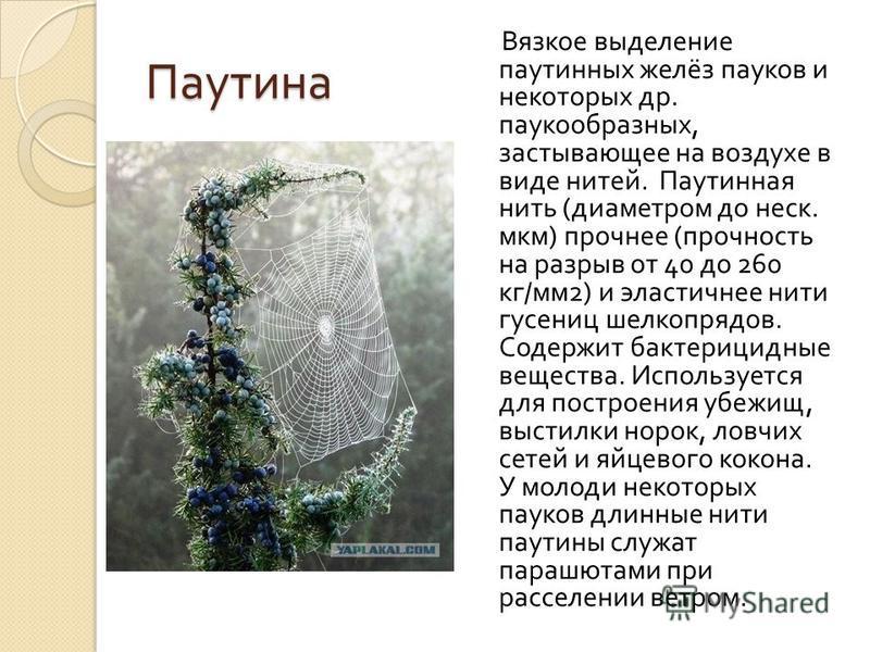 Паутина Вязкое выделение паутинных желёз пауков и некоторых др. паукообразных, застывающее на воздухе в виде нитей. Паутинная нить ( диаметром до неск. мкм ) прочнее ( прочность на разрыв от 40 до 260 кг / мм 2) и эластичнее нити гусениц шелкопрядов.