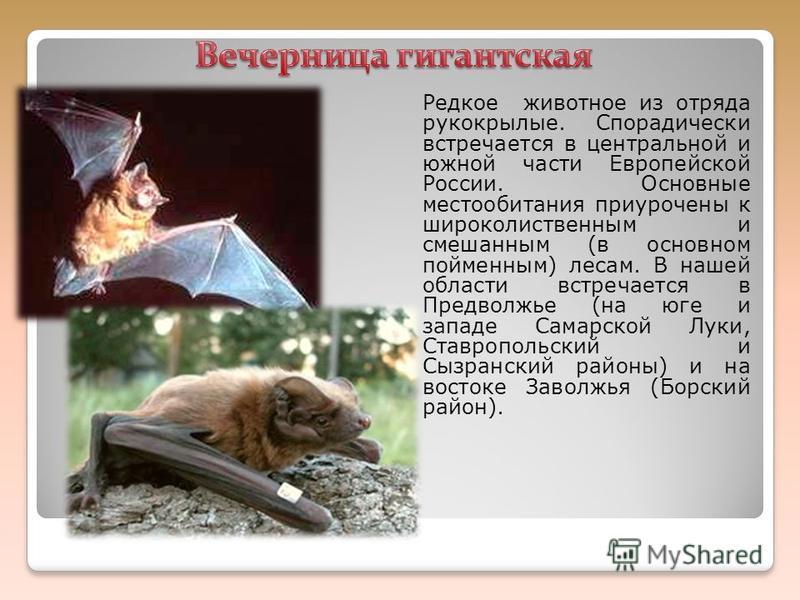 Редкое животное из отряда рукокрылые. Спорадически встречается в центральной и южной части Европейской России. Основные местообитания приурочены к широколиственным и смешанным (в основном пойменным) лесам. В нашей области встречается в Предповолжье