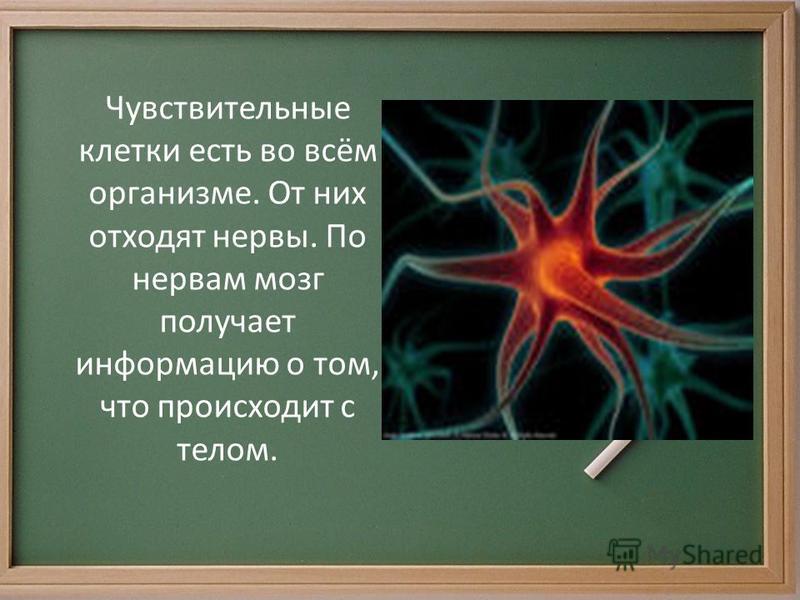 Чувствительные клетки есть во всём организме. От них отходят нервы. По нервам мозг получает информацию о том, что происходит с телом.