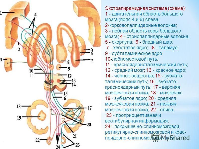 Экстрапирамидная система (схема): 1 - двигательная область большого мозга (поля 4 и 6) слева; 2-корковопаллидарные волокна; 3 - лобная область коры большого мозга; 4 - стриопаллидарные волокна; 5 - скорлупа; 6 - бледный шар; 7 - хвостатое ядро; 8 - т