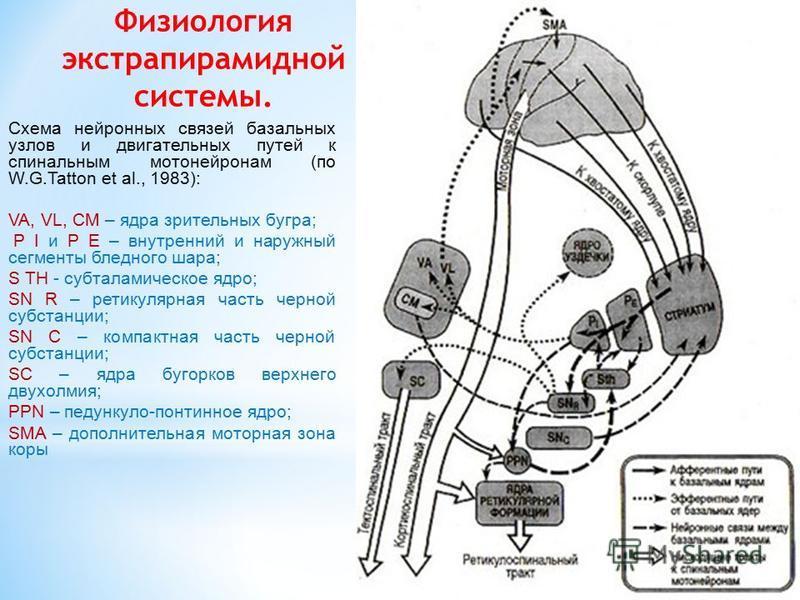 Физиология экстрапирамидной системы. Схема нейроннных связей базальных узлов и двигательных путей к спинальным мотонейроннам (по W.G.Tatton et al., 1983): VA, VL, CM – ядра зрительных бугра; P I и P E – внутренний и наружный сегменты бледного шара; S