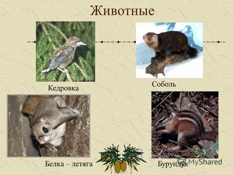 Животные Соболь Кедровка Бурундук Белка – летяга