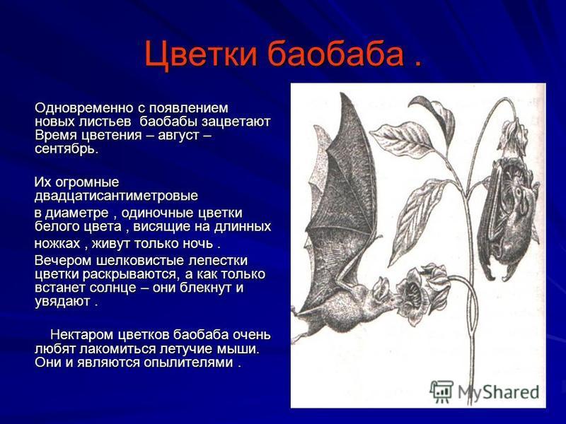 Цветки баобаба. Одновременно с появлением новых листьев баобабы зацветают Время цветения – август – сентябрь. Их огромные двадцатисантиметровые в диаметре, одиночные цветки белого цвета, висящие на длинных ножках, живут только ночь. Вечером шелковист