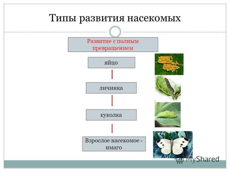 Типы развития насекомых Развитие с полным превращением яйцо личинка Взрослое насекомое - имаго куколка