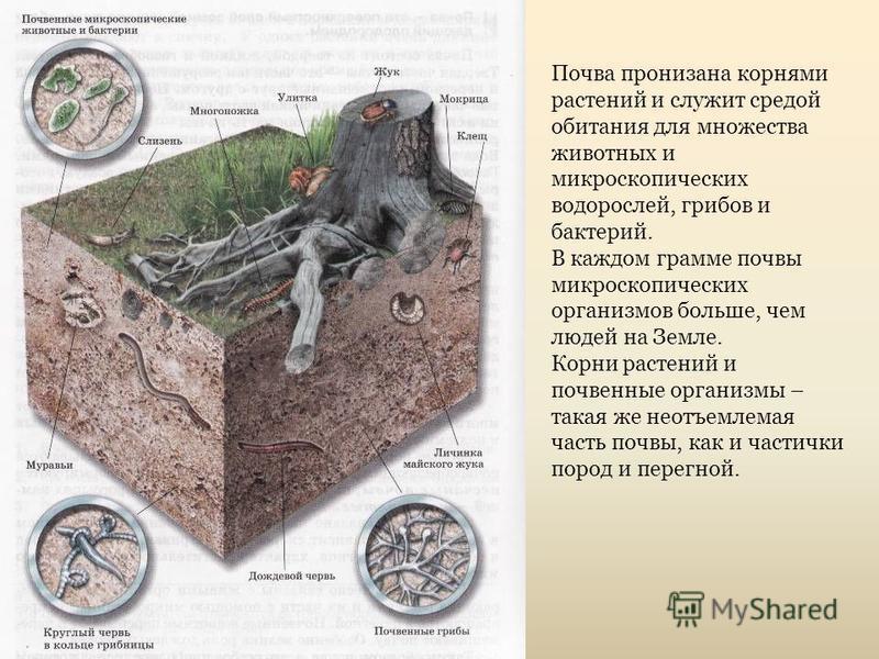 Почва пронизана корнями растений и служит средой обитания для множества животных и микроскопических водойрослей, грибов и бактерий. В каждом грамме почвы микроскопических организмов больше, чем людей на Земле. Корни растений и почвенные организмы – т