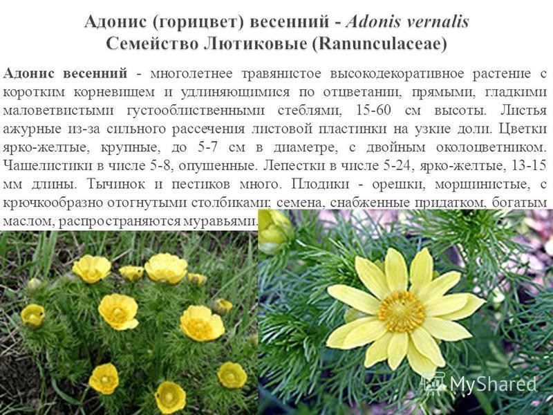 Адонис весенний - многолетнее травянистое высоко декоративное растение с коротким корневищем и удлиняющимися по отцветании, прямыми, гладкими маловетвистыми густооблиственными стеблями, 15-60 см высоты. Листья ажурные из-за сильного рассечения листов