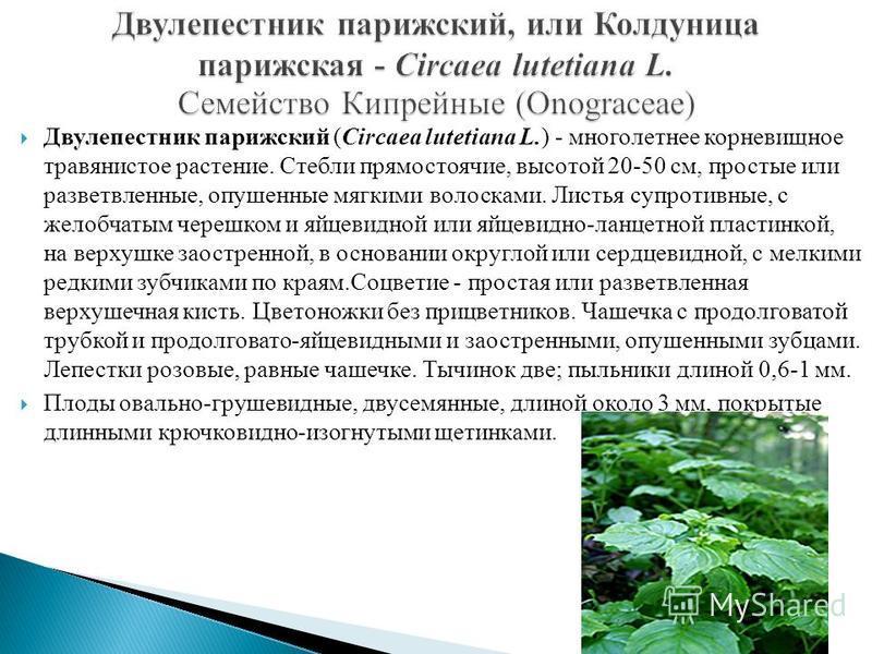 Двулепестник парижский (Circaea lutetiana L.) - многолетнее корневищное травянистое растение. Стебли прямостоячие, высотой 20-50 см, простые или разветвленные, опушенные мягкими волосками. Листья супротивные, с желобчатым черешком и яйцевидной или яй