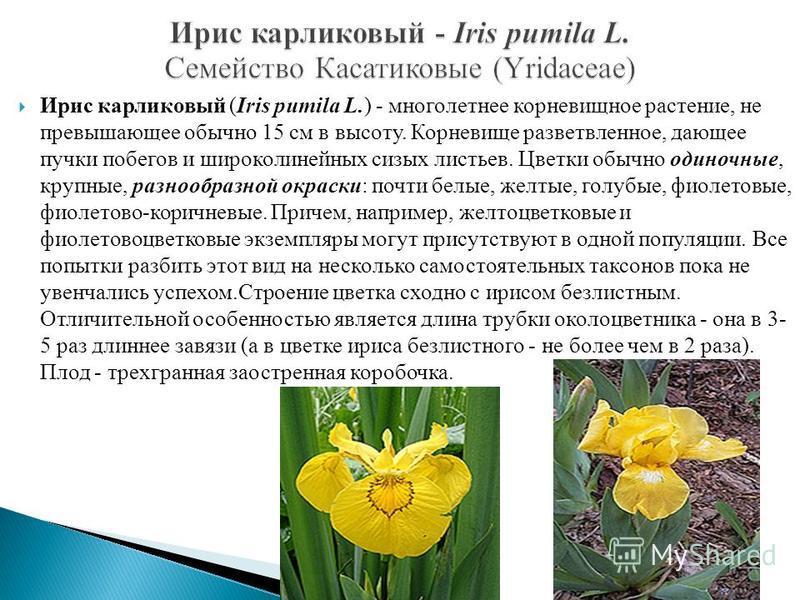 Ирис карликовый (Iris pumila L.) - многолетнее корневищное растение, не превышающее обычно 15 см в высоту. Корневище разветвленное, дающее пучки побегов и широколинейных сизых листьев. Цветки обычно одиночные, крупные, разнообразной окраски: почти бе