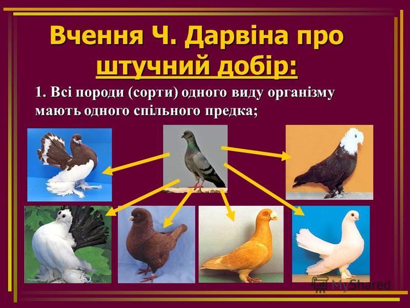 Вчення Ч. Дарвіна про штучний добір: 1. Всі породи (сорти) одного виду організму мають одного спільного предка;