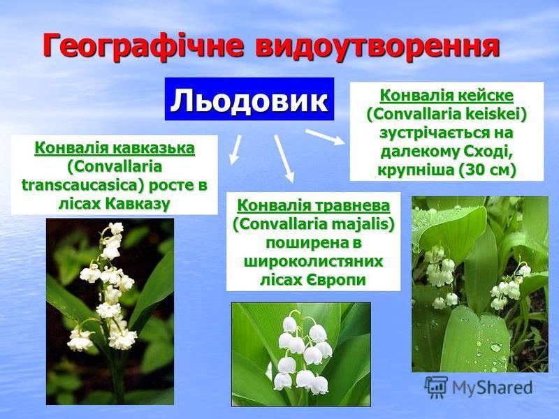 Географічне видоутворення Конвалія травнева (Convallaria majalis) поширена в широколистяних лісах Європи Конвалія кейске (Convallaria keiskei) зустрічається на далекому Сході, крупніша (30 см) Конвалія кавказька (Convallaria transcaucasica) росте в л