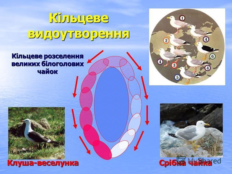 Кільцеве видоутворення Кільцеве розселення великих білоголових чайок Клуша-веселунка Срібна чайка